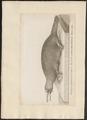 Ornithorhynchus rufus - 1700-1880 - Print - Iconographia Zoologica - Special Collections University of Amsterdam - UBA01 IZ20300188.tif
