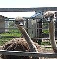 Ostrich Farm - panoramio.jpg