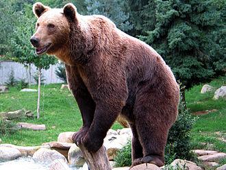 Pyrénées Animal Park - Image: Ours brun parcanimalierpyrenee s 2