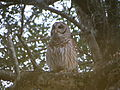 Owl in the Camphor Tree.JPG