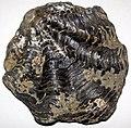 Oyster fossil (Jurassic (?); Bambamarca, Cajamarca, Peru) 2 (49036517542).jpg
