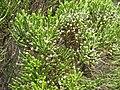 Ozothamnus cupressoides.jpg
