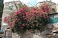 P1190845 - בית איצקוביץ - מוסתר מהרחוב בפריחה.JPG