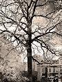 P1240703 Paris V jardin des Plantes Quercus macrocarpa rwk.jpg