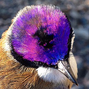 Purple-crowned fairywren - Crown of the male purple-crowned fairy-wren (race macgillivrayi)