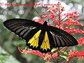 Pa Southern Birdwing 20 July 2007 (863476329).jpg