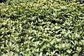 Pachysandra terminalis Green Carpet 1zz.jpg