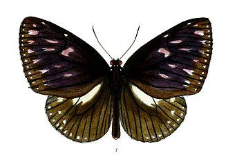 Euploea klugii - Image: Pademma Klugii 42 1