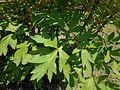 Paeonia delavayi 2016-05-20 0908.jpg