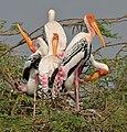 Painted Stork (Mycteria leucocephala) in Uppalapadu, AP W IMG 5066.jpg