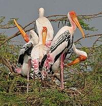 Painted Stork (Mycteria leucocephala) in Uppalapadu, AP W IMG 5066