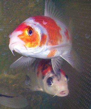 Coldwater fish - Japanese koi carp are coldwater fish.