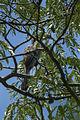 Pale-billed Hornbill - Malawi S4E1706 (15788451153).jpg