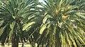 Palmeiral no parque.jpg