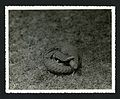 Pangolin photographed during the National Geographic Society-Smithsonian Institution Expedition to the Dutch East Indies, 1937 (7996904673).jpg