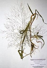 Panicum capillare ssp. capillare BW-1979-0914-0495.jpg