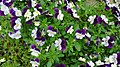 Pansies Bi-Color (4749320453).jpg