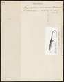 Pantodactylus d'orbignyi - 1700-1880 - Print - Iconographia Zoologica - Special Collections University of Amsterdam - UBA01 IZ12500055.tif