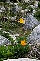 Papaver croceum (Papaveraceae) (33002491650).jpg