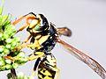 Paper Wasp - Polistes dominula (m) (2778201458).jpg