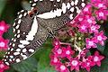 Papilio demodocus Montreal.jpg