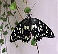 Papilio demoleus - swallowtail butterfly.jpg