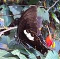 Papilio helenus - Red Helen nectering 04.JPG
