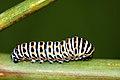 Papilio macaon, oruga - caterpillar - eruga (5147570129).jpg