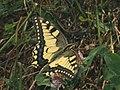 Papilio machaon - Common yellow swallowtail - Махаон (26302947537).jpg