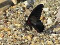 Papilio memnon agenor (7210966184).jpg