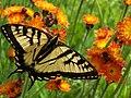 Papillo canadensis 1.jpg