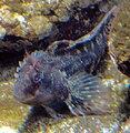 Parablennius gattorugine by Line1.jpg