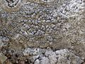 Paralecanographa grumulosa Jymm.jpg