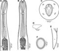 Parasite180099-fig7 Cucullanus incognitus (Nematoda, Cucullanidae).png