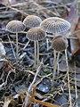 Parasola auricoma (Pat.) Redhead, Vilgalys & Hopple 273884.jpg