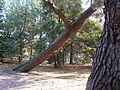 Parco Miramare - pino inclinato 2.JPG