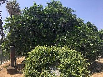 Eliza Tibbets - Parent Navel Orange Tree in Riverside, California (August, 2017)