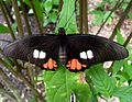 Parides species - Flickr - gailhampshire.jpg
