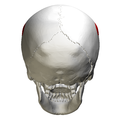 Parietal eminence - skull - posterior view.png