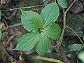 Paris polyphylla 03.jpg