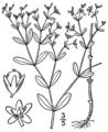 Paronychia canadensis BB-1913-1.png