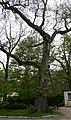 Parzymiechy Carpinus betulus 02.05.2011 p.jpg