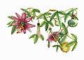 Passiflora pinnatistipula - Andrea Ugarte.jpg