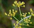 Pastinaca sativa subsp. urens inflorescence (08).jpg