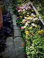 Path in Ukrainian garden.JPG