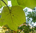 Paulownia tomentosa (4).JPG