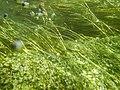 """Paysage subaquatique Subaquatic landscape rivière """"Les Baillons"""" à Enquin-sur-Baillons F Lamiot 05.jpg"""