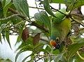Peach-fronted Parakeet (Eupsittula aurea) feeding on small black fruits ... - 48205504522.jpg