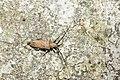 Peblephaeus decoloratus decoloratus (31542761458).jpg