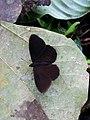 Pedaliodes aff. montagna (Nymphalidae- Satyrinae- Satyrini- Pronophilina) (30451638812).jpg